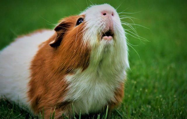 Чихание у морских свинок - аллергия