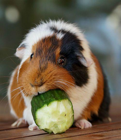 Чихание и кашель у морских свинок - лечение