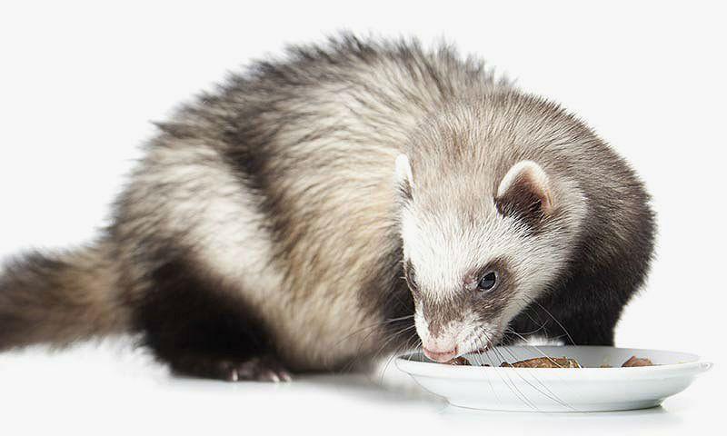 Что едят хорьки - главное фото