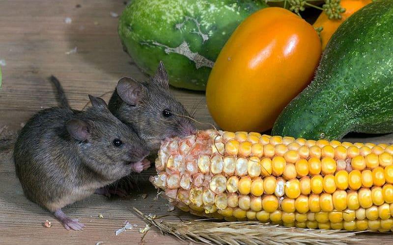 Что любят есть дикие и домашние мыши