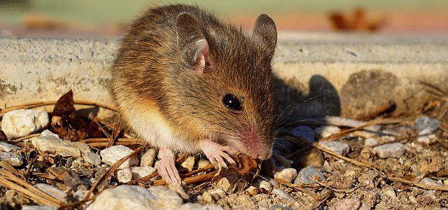 Питание дикой мышки