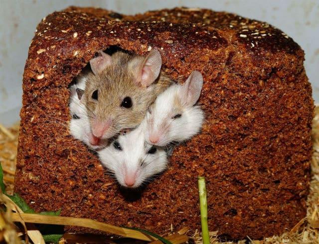 Что едят мыши - черный хлеб