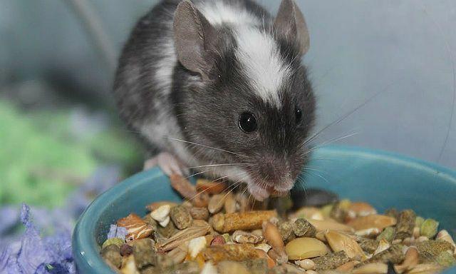 Что едят домашние мыши - готовые корма