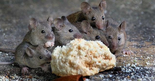 Мыши едят белый хлеб
