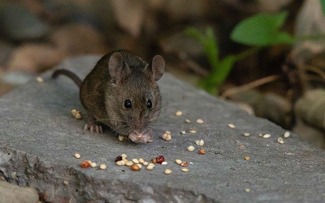 Что едят дикие мыши