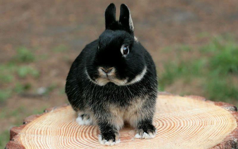 Декоративные карликовые кролики - главное фото
