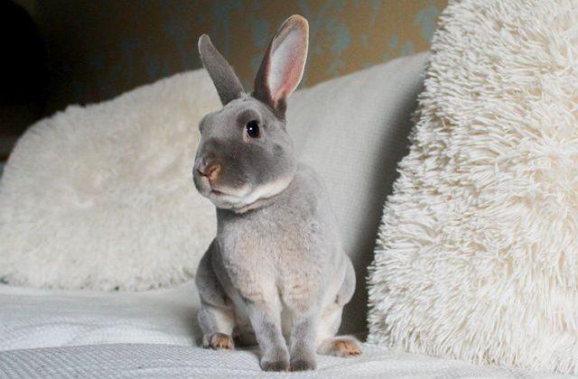 Декоративный кролик рекс сидит