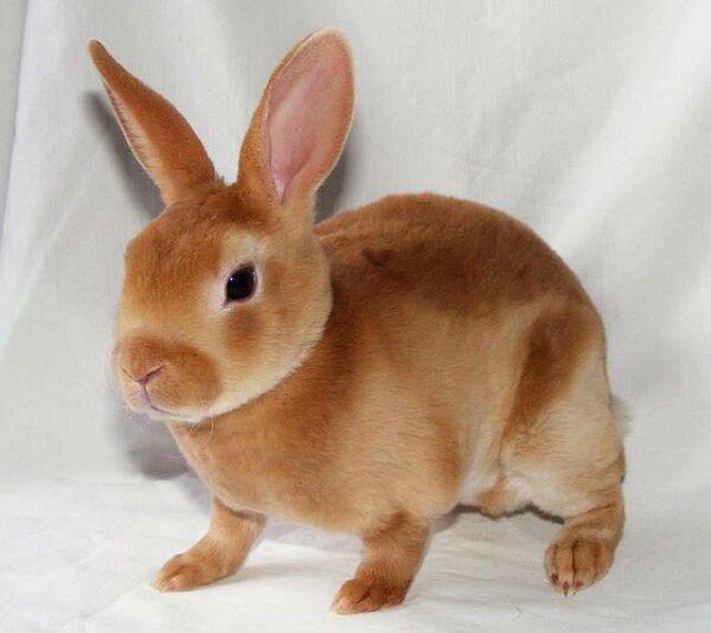 Декоративный кролик рекс - приручение