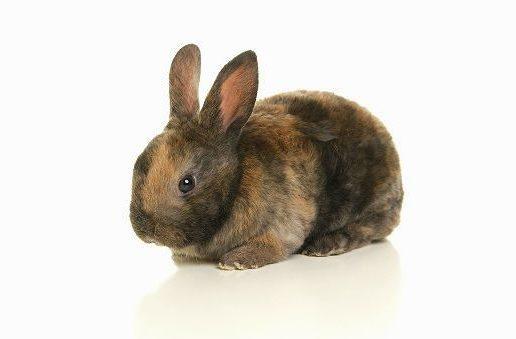 Декоративный кролик рекс трехцветный