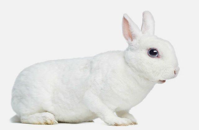 Декоративный кролик рекс белый