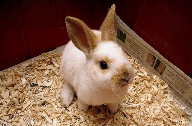 Декоративный кролик рекс - содержание