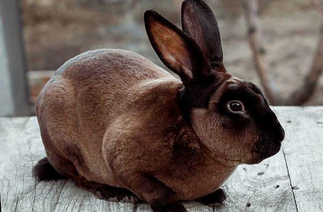 Декоративный кролик рекс коричневого окраса
