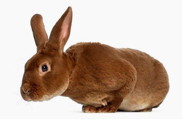Рыжий декоративный кролик рекс