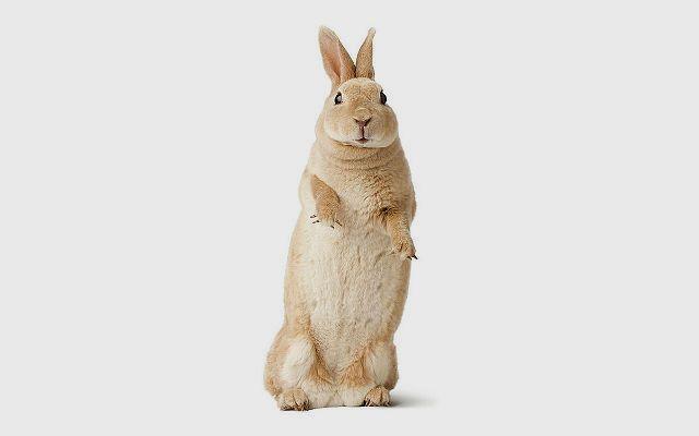 Декоративный кролик рекс стоит на задних лапках