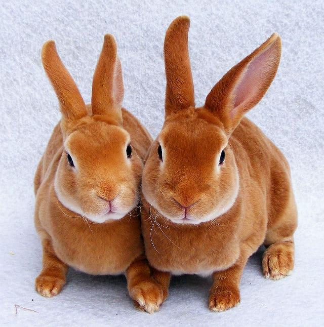 Декоративный кролик рекс - здоровье