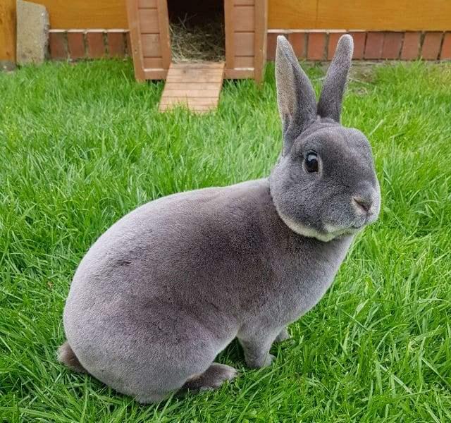 Декоративный кролик рекс на траве