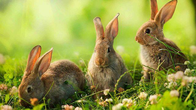 Дикие кролики - размножение