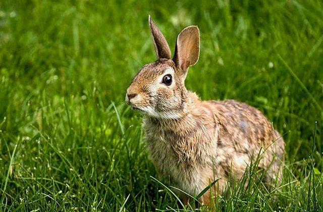 Дикий кролик в траве