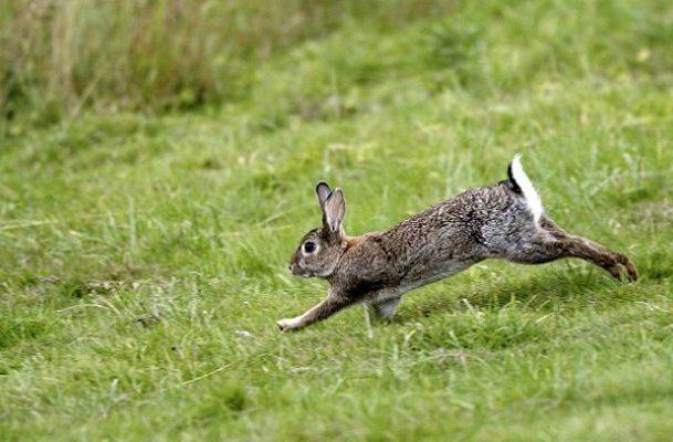 Дикий кролик бежит