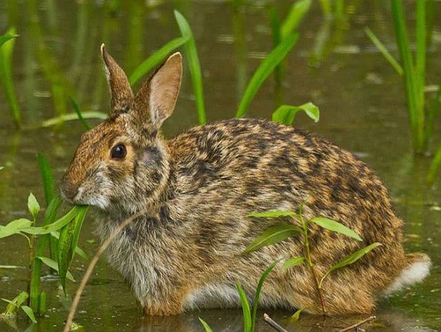 Дикие кролики - водяной