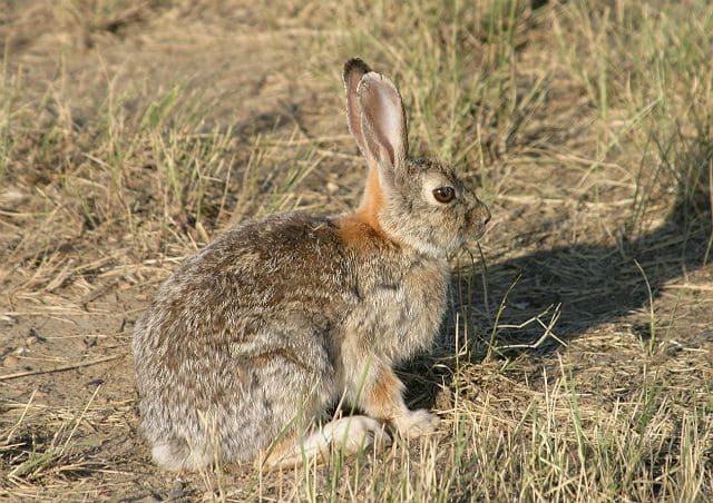 Дикие кролики - степной