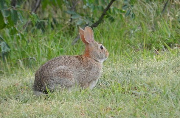 Дикий кролик на зеленой поляне