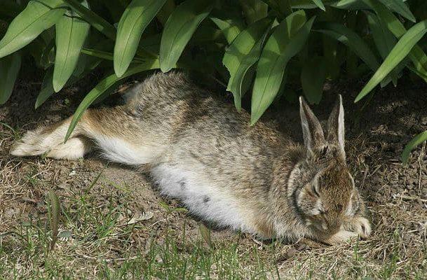 Дикий кролик спит