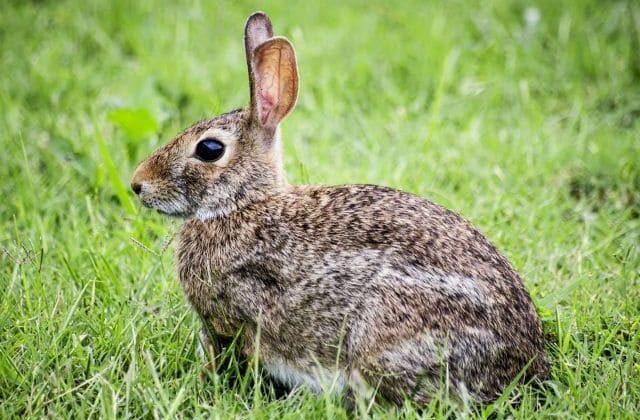 Дикий кролик - вид сбоку
