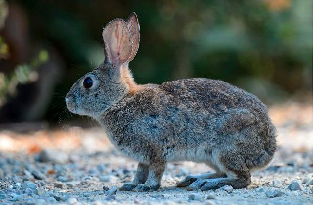 Дикий кролик с серым корасом