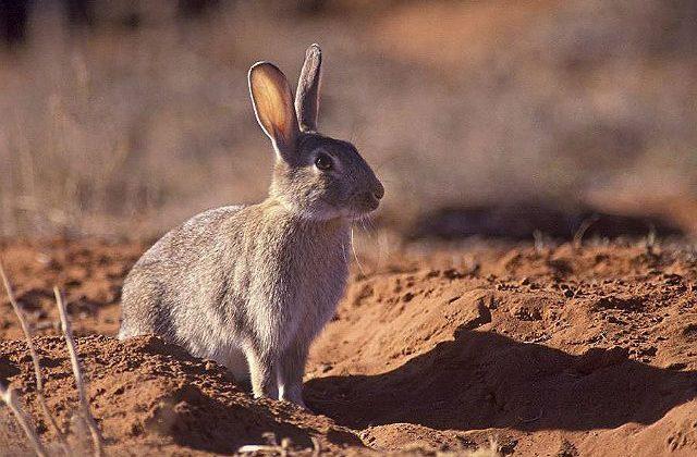 Дикий кролик в песках