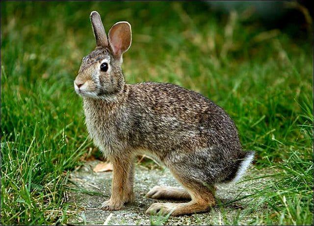 Дикие кролики - внешний вид