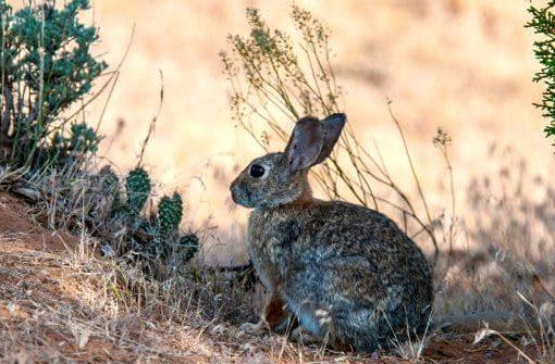 Дикий кролик в естественной среде