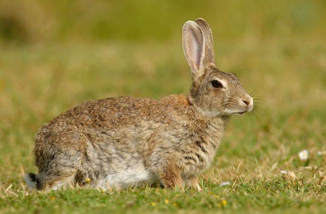 Дикий кролик светло-коричневого окраса