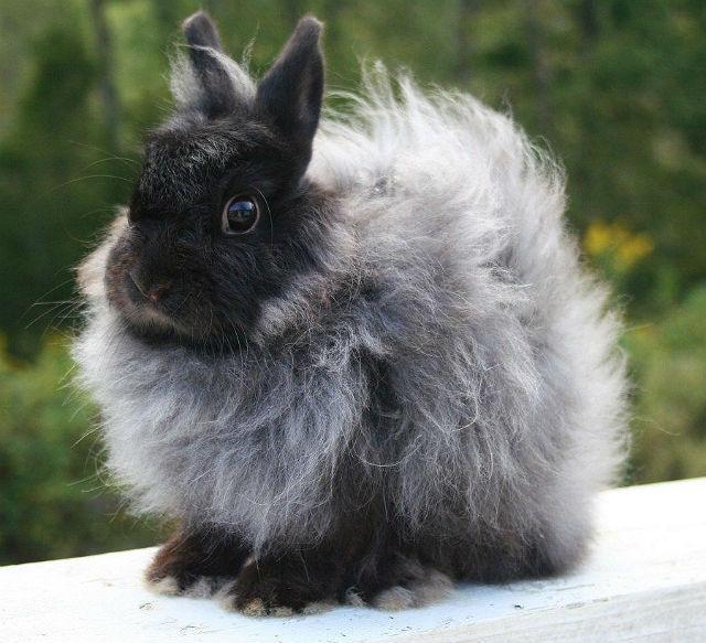 Кролик Джерси вули