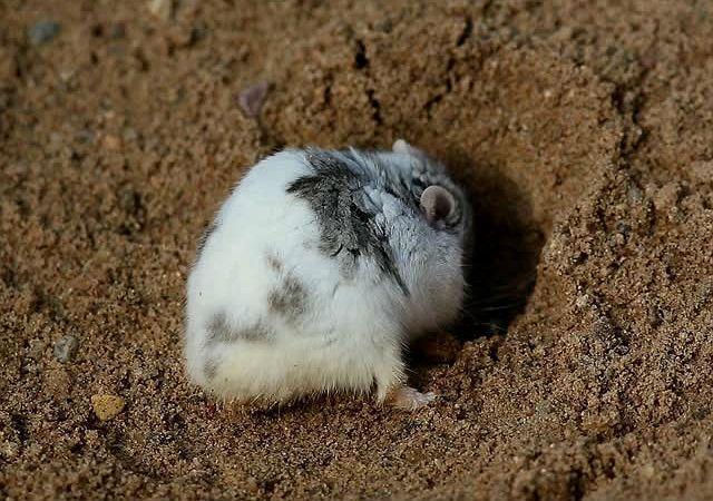 Джунгарский хомячок - образ жизни в естественной среде