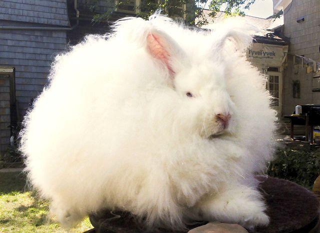 Кролик Гигантская ангора