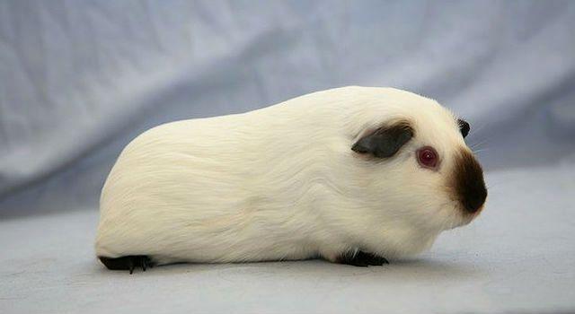 Гималайская морская свинка белая