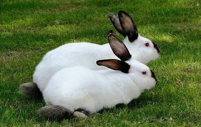 Горностаевые кролики