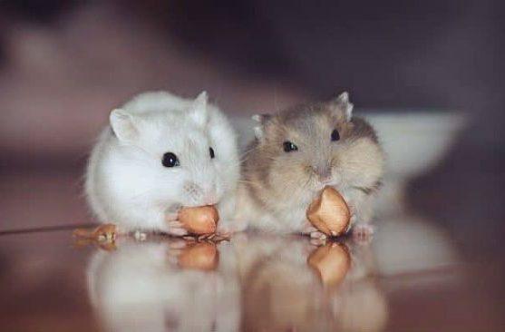Хомяки едят орехи