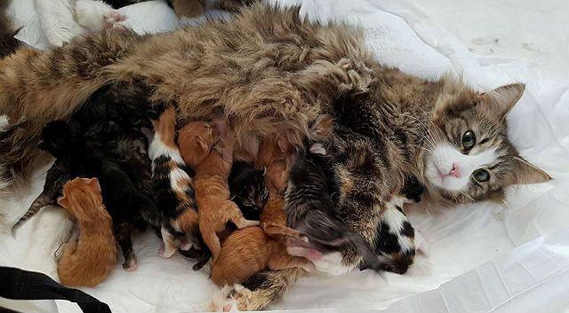 Сколько котят рожает мейн-кун