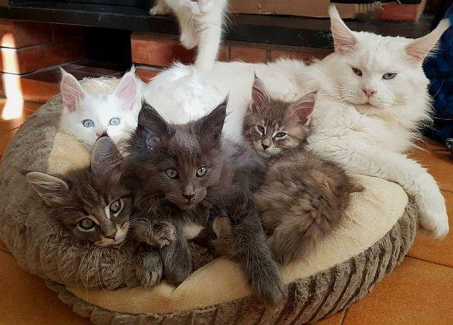 Кошка мейн-кун с котятами