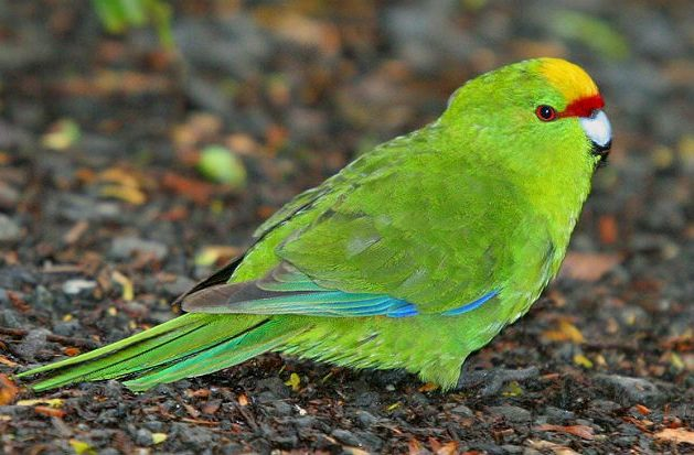 Попугай какарик зелёный