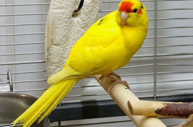 Красивый попугай какарик