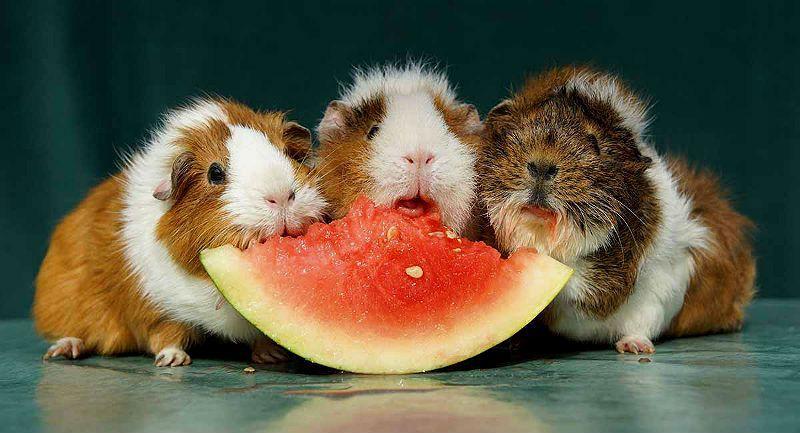 Какие фрукты полезны морской свинке - главное фото