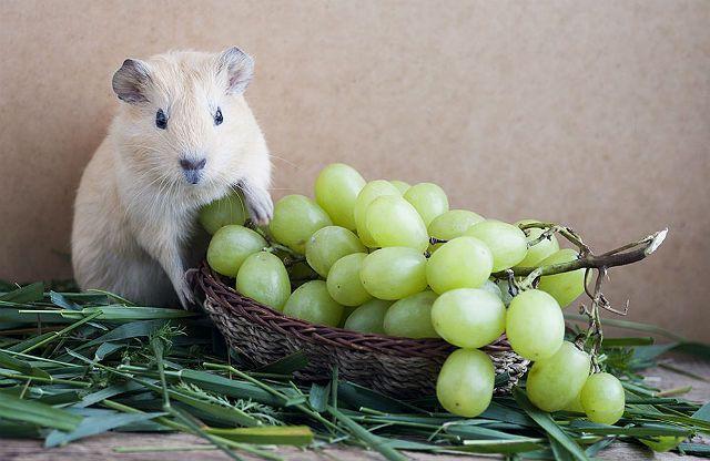 Виноград для морской свинки