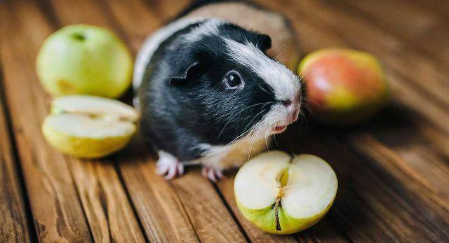 Яблоки для морских свинок