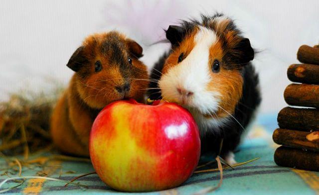 Яблоки для морских свинок-1