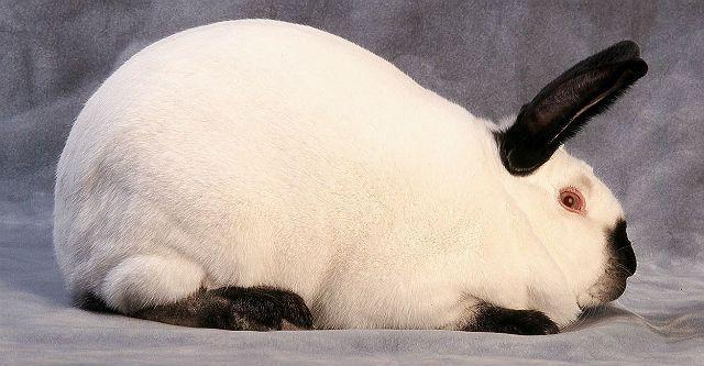 Калифорнийские кролики - главное фото