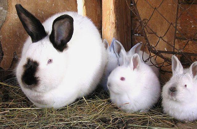 Калифорнийский кролик и крольчата