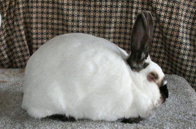 Калифорнийский кролик спит